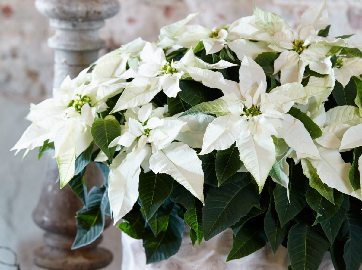 Princettia Pure White The Whitest Poinsettia Euphorbia There Is