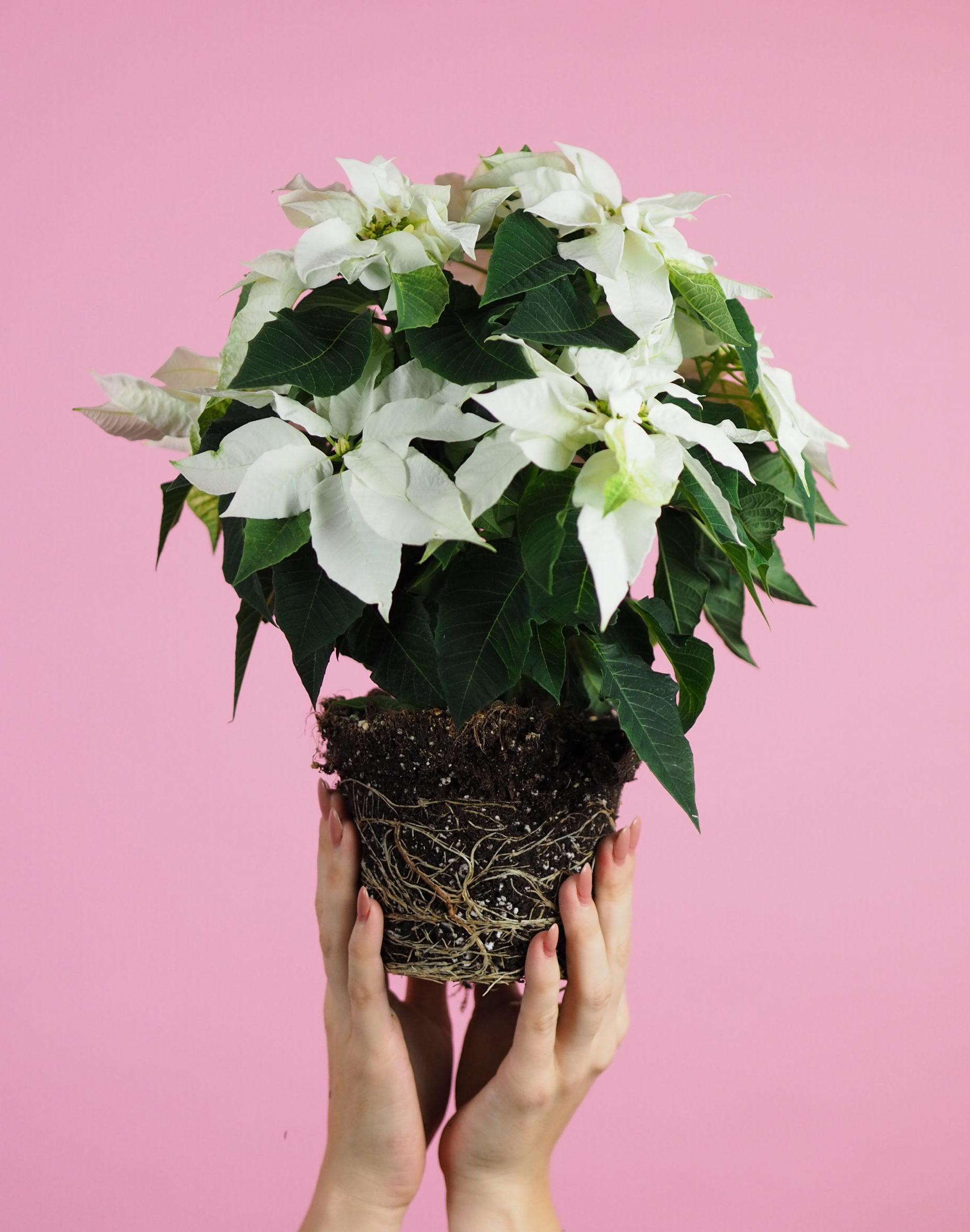 Princettia Euphorbia Pure White