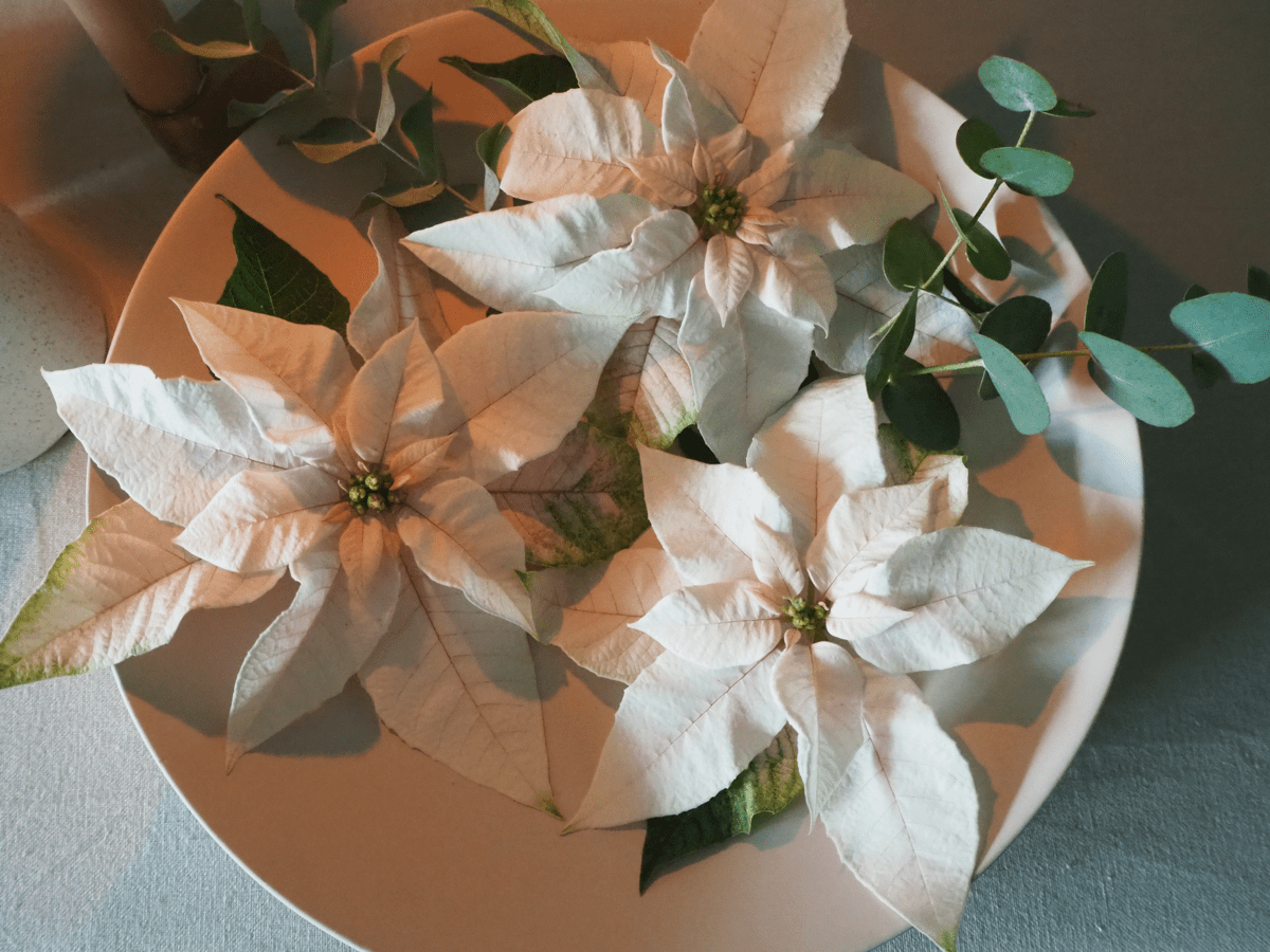 Princettia Euphorbia Pearl White