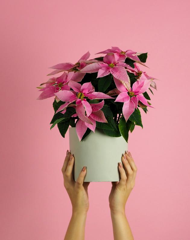 Princettia Euphorbia Pink